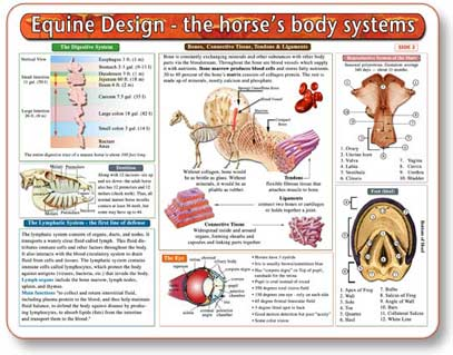 This chart is an essential tool for referencing and learning equine anatomy.