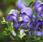 Aconite homeopathic remedy for animals