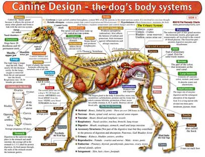 Essential tool for learning canine anatomy at all levels.