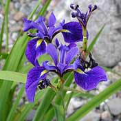 Iris versicolor homeopathic remedy to improve the appetite